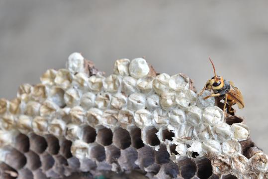 Wespenbekämpfung Wespennest umsiedeln wespen entfernen